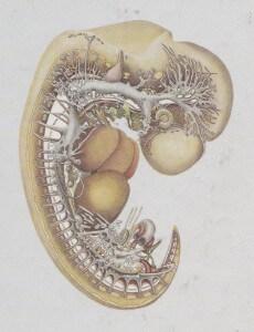 Blechschmidt embryo
