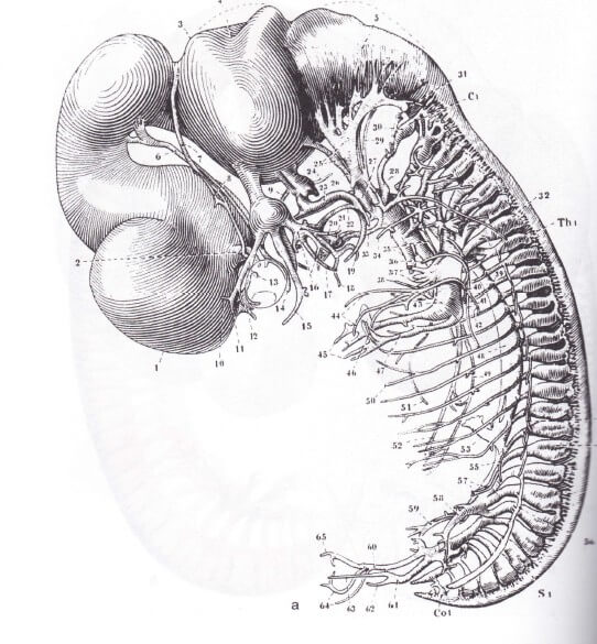 embryo plm 40dagen centraal en perifeer zenuwstelsel incl seritonine hormoon stelsel