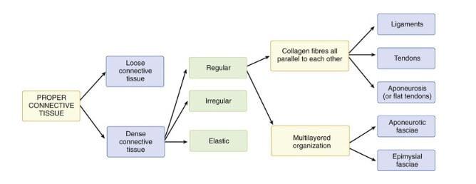 connectiev tissue diagram osteopathie-ilbrink.nl