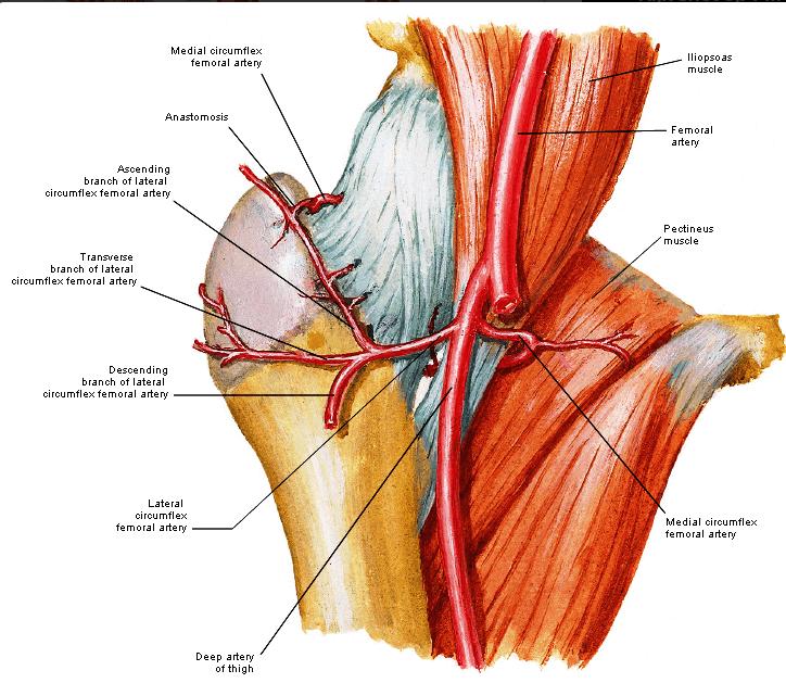 Caput femorus kapsel