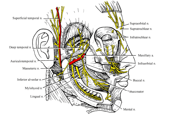 N mandibulare hoofdpijn www.osteopathie-ilbrink.nl